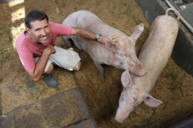 Earlier days and happier times with these pigs... before swine fever.